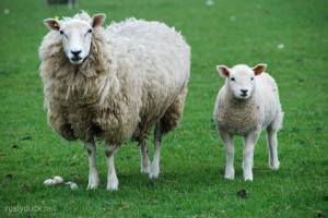 Sheep-002-Wm