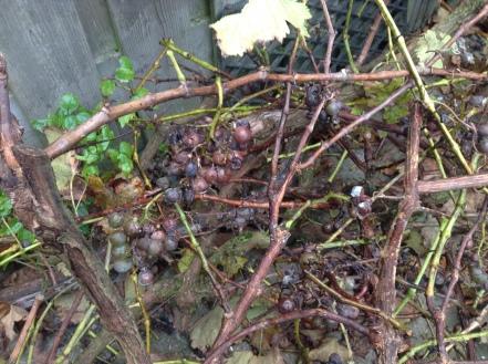 rotten grapes grapevine