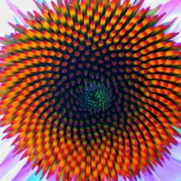 fibonacci coneflower